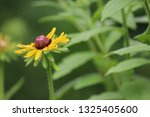 black eyed susan wildflower... | Shutterstock . vector #1325405600