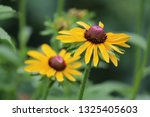 black eyed susan wildflower... | Shutterstock . vector #1325405603