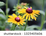 black eyed susan wildflower... | Shutterstock . vector #1325405606