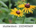 black eyed susan wildflower... | Shutterstock . vector #1325405609
