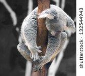 Australian Koala Bear Sleep On...