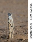 isolated portrait of a meerkat  ... | Shutterstock . vector #1325668556