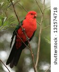 Small photo of Adult male King Parrot (Alisterus scapularis), a native Australian bird, perched in a tree.