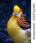 Golden Pheasant In Zoo