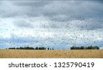 Small photo of Locusts swarm get down on a wheat field. Invasion