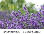 field of lavender  lavandula... | Shutterstock . vector #1325956880