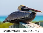 A Wild Brown Pelican In Dry...