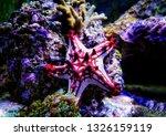 Red Knob Sea Star   ...