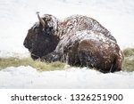 Bison Covered With Snow