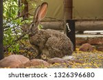 Stock photo riverine rabbit or hare sitting on an outdoor pathway with long ears and big eyes in the wild in 1326396680