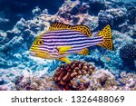 Oriental Sweetlips Fish ...