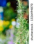 fresh rosemary herb grow... | Shutterstock . vector #1326494870