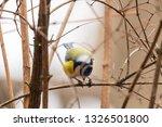 horizontal photo of blue tit... | Shutterstock . vector #1326501800