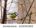 horizontal photo of blue tit... | Shutterstock . vector #1326501803
