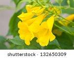 Yellow Elder  Yellow Bells  Or...