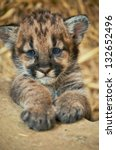 When Cougars Are Born  They...