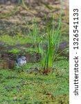 white wagtail or motacilla alba.... | Shutterstock . vector #1326541133