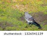 white wagtail or motacilla alba.... | Shutterstock . vector #1326541139