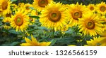 sunflower field at day time in... | Shutterstock . vector #1326566159