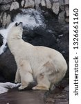 polar bear deftly bent up ... | Shutterstock . vector #1326661160