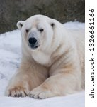 the polar bear attentively... | Shutterstock . vector #1326661166