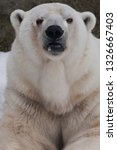 the polar bear attentively... | Shutterstock . vector #1326667403