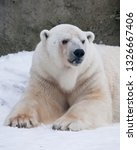 the polar bear attentively... | Shutterstock . vector #1326667406