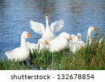 White Domestic Geese Swimming...