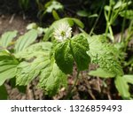 Small photo of Closeup of White Goldenseal in flower with leaves in sunny spring forest