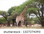 giraffe eating leaves off a... | Shutterstock . vector #1327274393