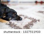 pedigree dog indoor playing or... | Shutterstock . vector #1327511933