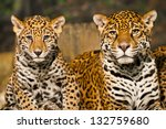 Two Young Jaguar Cubs With...