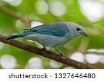 blue grey tanager   tangara... | Shutterstock . vector #1327646480