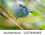 blue grey tanager   tangara... | Shutterstock . vector #1327646483