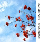 red rowan  blue winter sky. | Shutterstock . vector #1327685090