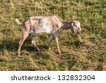nubian goat with long ears and...   Shutterstock . vector #132832304