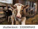 A Cute Calf Stands In A Wooden...