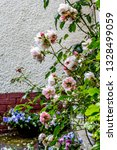 beautiful  pink pale clmbing... | Shutterstock . vector #1328499059