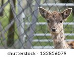Young Deer Looking At You Afte...