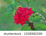 red and purple plumeria flowers ... | Shutterstock . vector #1328582330