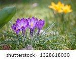 """crocus flowers """"crocus vernus""""...   Shutterstock . vector #1328618030"""