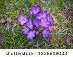 """crocus flowers """"crocus vernus""""...   Shutterstock . vector #1328618033"""