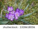 """crocus flowers """"crocus vernus""""...   Shutterstock . vector #1328618036"""