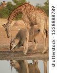 vertical photo of huge eland... | Shutterstock . vector #1328888789