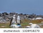 Blue Footed Booby On North...