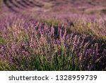 Blooming lavender field with purple flower bushes in Serbia. Summer floral landscape, bloomfield row with violet herbs. Blossoming meadow with french lavender flower bush closeup.