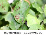Small photo of Apple scab , sooty blotch Venturia inaequalis . Apple diseases . Brown spots on apple leaves