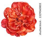 terry red tulip  beautiful...   Shutterstock . vector #1329060803