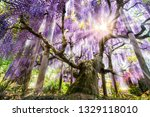 Beautiful Japanese Wisteria In...