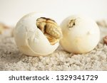 Stock photo africa spurred tortoise are born naturally tortoise hatching from egg cute portrait of baby 1329341729
